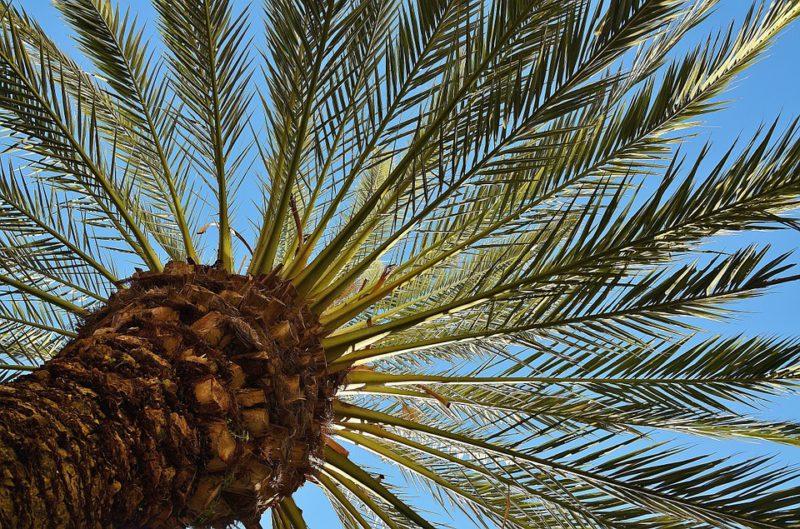 palmier-dattier-e1509384597562.jpg